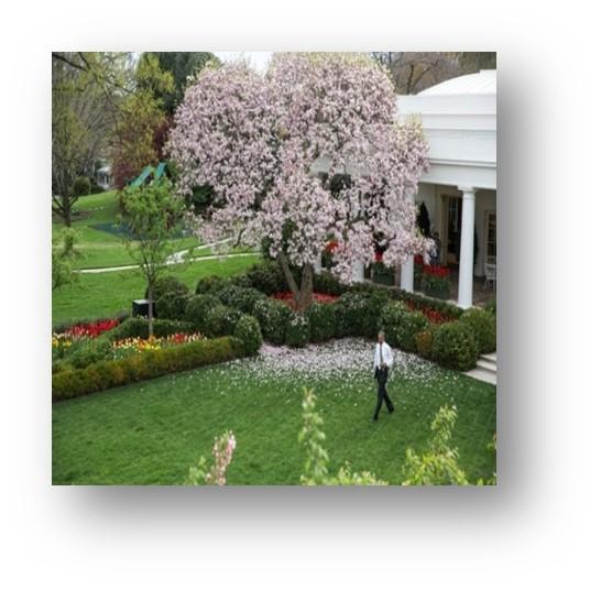 Presidente Obama con Magnolia en floración